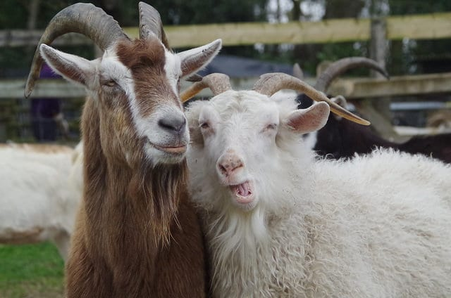 Chinese astrology Goat